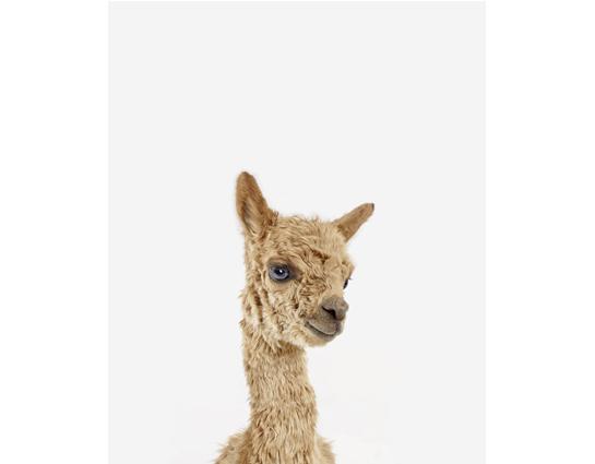 Baby_alpaca_little_darling_theanimalprintshop.com