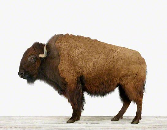 Animal-Art_American Buffalo-01