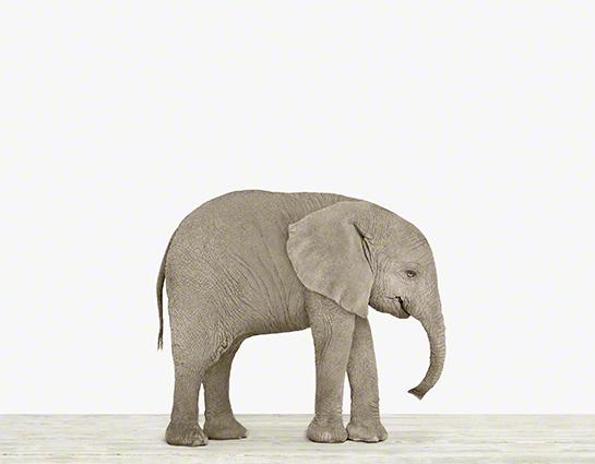 Baby_elephant_nursery_art_theanimalprintshop